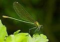 2013.07.13.-02-Anglersee-Bruehl-Gebaenderte Prachtlibelle-Weibchen.jpg