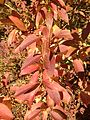 2014-10-30 11 49 44 Forsythia foliage during autumn on Terrace Boulevard in Ewing, New Jersey.JPG