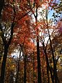 2014-10-30 12 38 59 Trees during autumn in the woodlands along the West Branch Shabakunk Creek in Ewing, New Jersey.JPG