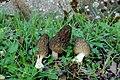 2015-05-03 Morchella dunalii Boud 519075.jpg