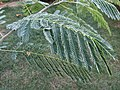 2015-10-19 07 45 23 Frost on Mimosa leaves along Tranquility Court in the Franklin Farm section of Oak Hill, Virginia.jpg