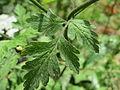 20150617Chaerophyllum temulum6.jpg