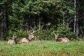 2016-09 zoo sauvage de Saint-Félicien - Odocoileus virginianus 01.jpg