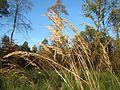 20161114Calamagrostis epigejos1.jpg