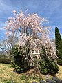 2017-04-05 13 32 48 Weeping Higan Cherry blooming along Folkstone Drive at Rock Manor Court in Oak Hill, Fairfax County, Virginia.jpg