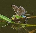 2017.06.05.-09-Anglerteiche-Rimbach--Grosse Koenigslibelle-Weibchen bei Eiablage.jpg
