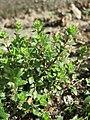 20170312Arenaria serpyllifolia4.jpg