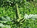 20170822Amaranthus retroflexus1.jpg
