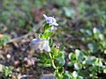 20171018Veronica serpyllifolia2.jpg