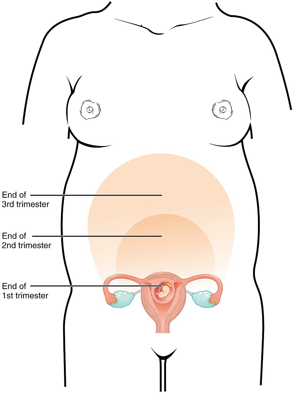 2917 Size of Uterus Throughout Pregnancy-02