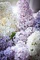 2 Сирень обыкновенная. Syringa vulgaris L. Семейство – Маслиновых — (Oleaceae). Используемые части — почки, листья, ветки, кора. Народное назва.jpg