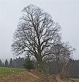 2 Linden in Hiltschen.jpg