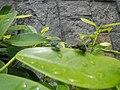 4733Common houseflies in Philippines 40.jpg