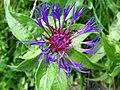 4886 - Mürren-Gimmelwald - Centaurea.JPG