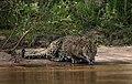 5280 Pantanal jaguar JF.jpg