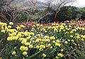 9 Leucospermum cordifolium - YellowBird - Pincushion protea - SA 2.jpg