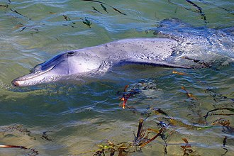 Indo-Pacific bottlenose dolphin - Dolphin in shallow water at Monkey Mia, Shark Bay, Western Australia