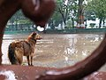 A Dog After Rain.jpg