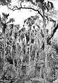 A Florida Palmetto Hammock - A Thousand Mile Walk to the Gulf.jpg
