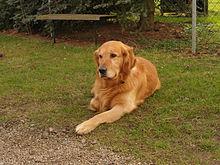 Golden Retriever Wikipedia