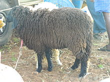 A close-up of Sheep1.JPG