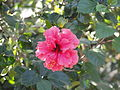 A closeup of flower of hibiscus sp..JPG