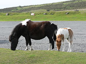 A couple of Dartmoor ponies.jpg
