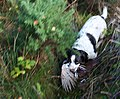 A pheasant is retrieved from the heavy cover in Crachies Wood.. - geograph.org.uk - 275236.jpg