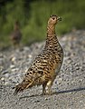 A ptarmigan waits for its chicks on the park road in Denali National Park and Preserve on June 29, 2019. (cf6b92fd-f166-4ed6-95cf-fa22fddb07a6).JPG