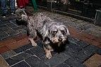 A street dog snapped at M.G.Marg Gangtok.jpg