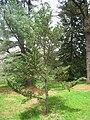 Abies fargesii var. fargesii, Arnold Arboretum - IMG 6118.JPG