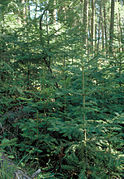 Abies grandis youngtrees.jpg