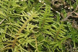 <i>Abietinella abietina</i> Species of moss