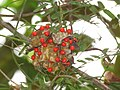 Abrus precatorius Rosary pea - at Mayyil (35).jpg
