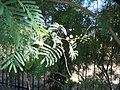 Acacia-berlandieri-flowers.jpg