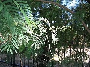Senegalia berlandieri - Image: Acacia berlandieri flowers