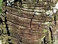 Acacia gerrardii, bas, Walter Sisulu NBT, a.jpg