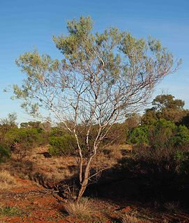 <i>Acacia murrayana</i> Species of legume