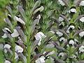 Acanthus hungaricus-IMG 6402.jpg