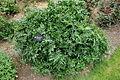 Acanthus spinosus - Morris Arboretum - DSC00227.JPG