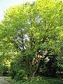 Acer maximowiczianum - Botanischer Garten, Frankfurt am Main - DSC03330.JPG