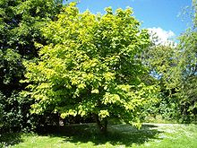 Maple Wiktionary