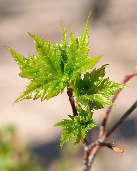 File:Acer tschonoskii ssp. tschonoskii (Tschonosk Maple) (26505120642).jpg
