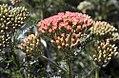 Achillea millefolium Orange Queen 0zz.jpg
