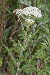 Achillea millefolium vallee-de-grace-amiens 80 22062007 1.jpg