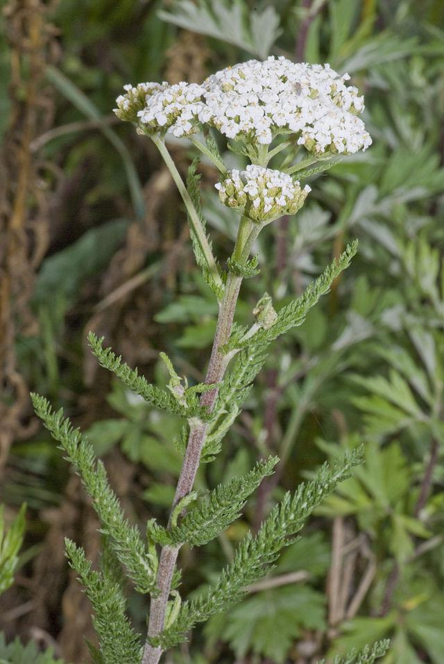 Common yarrow (Achillae millefolium) : Herblore