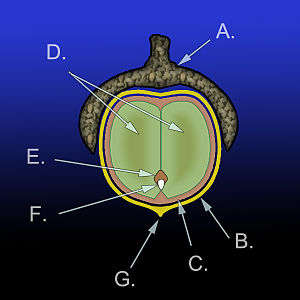 Acorn - Diagram of the anatomy of an acorn: A.) Cupule B.) Pericarp (fruit wall) C.) Seed coat (testa) D.) Cotyledons (2) E.) Plumule F.) Radicle G.) Remains of style. Together D., E., and F. make up the embryo.