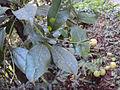 Acronychia pedunculata 06.JPG