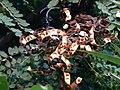 Adenanthera pavonina2.jpg