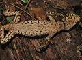 Adult female of Enyalioides binzayedi - ZooKeys-277-069-g009-B.jpg